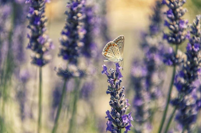 Motyl na lawendzie zdjęcie stock