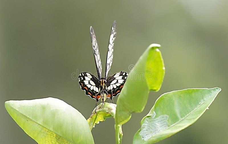 Motyl na Pomarańczowego drzewa liściu zdjęcie royalty free