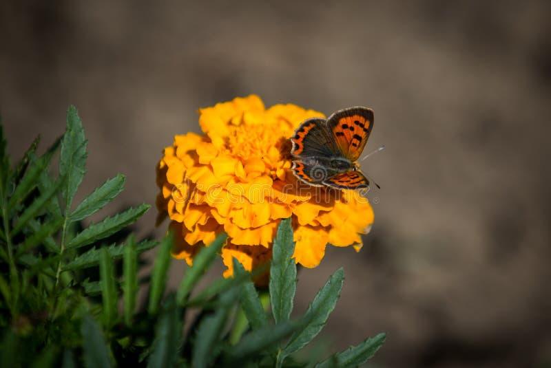 Motyl na pomarańczowym kwiacie w świetle słonecznym obrazy royalty free