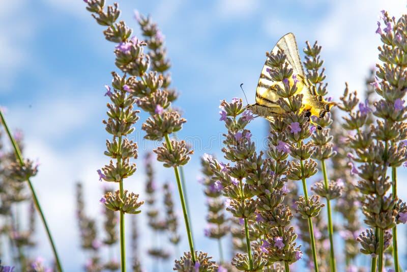 Motyl na purpurowych lawendowych kwiatach, Francja, pocztówka zdjęcie stock
