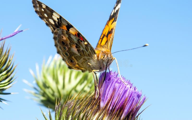 Motyl na purpurowym cierniowatym kwiacie obrazy stock