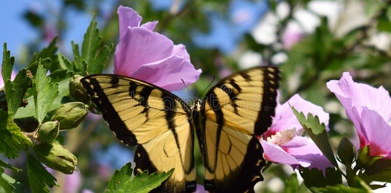 Motyl na róży Sharon fotografia stock