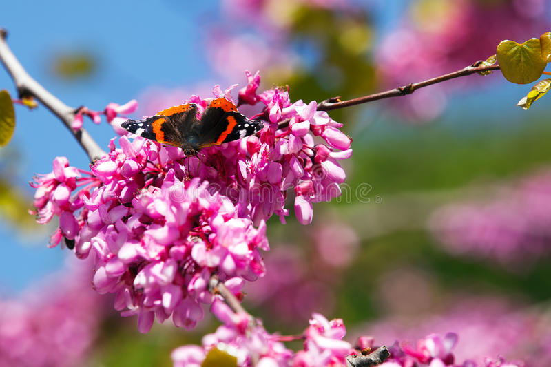 Motyl na redbud drzewie zdjęcie stock