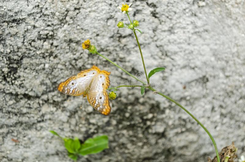 Motyl na Spanishneedle obrazy royalty free