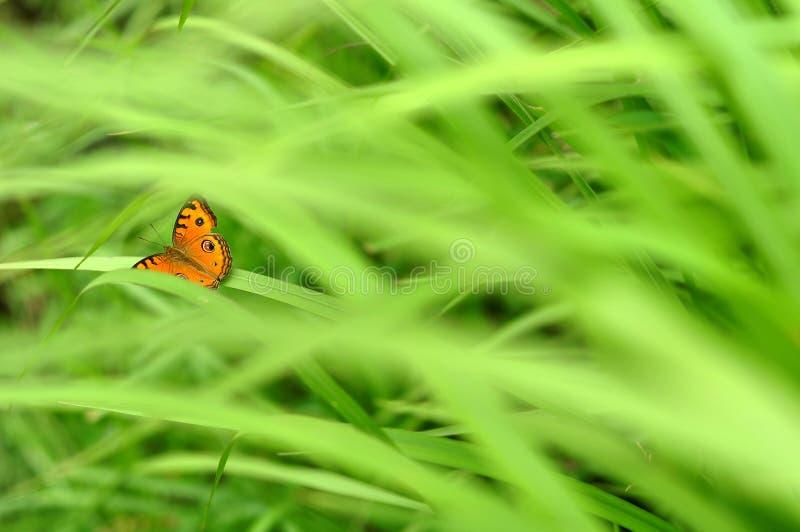 Motyl na zielonej trawie zdjęcia royalty free