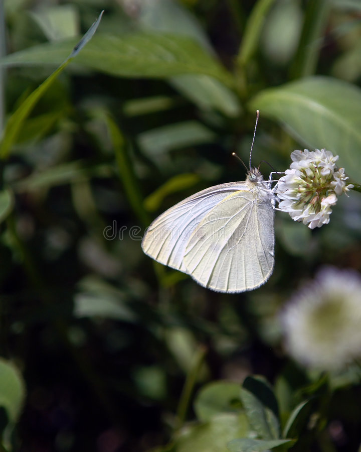 motyl no8 obraz stock