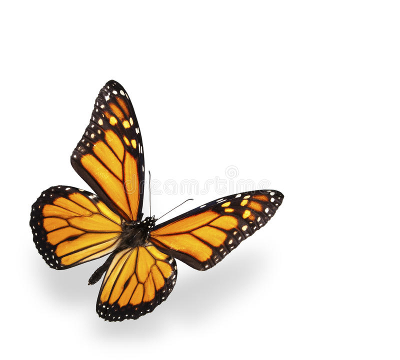 motyl odizolowywał cienia monarchicznego biel zdjęcie royalty free