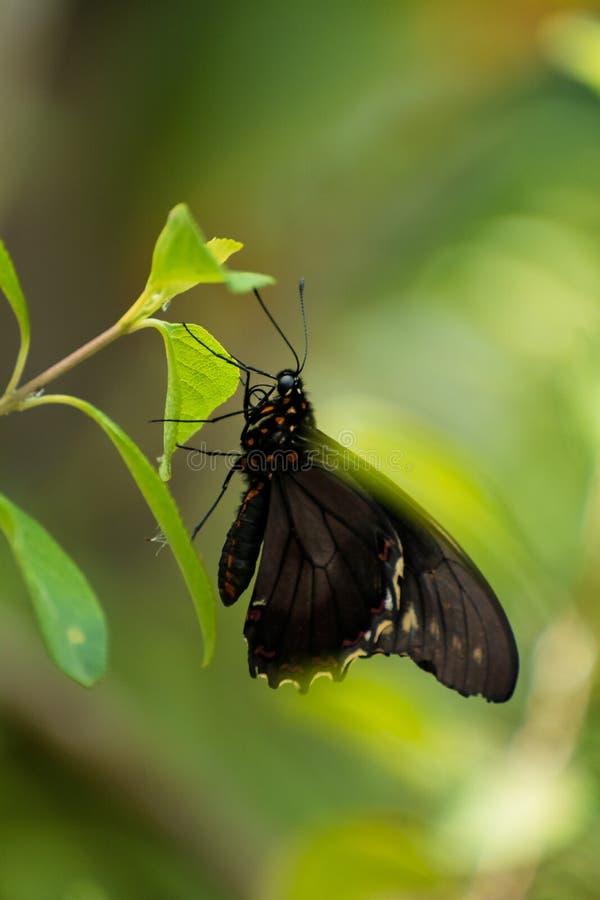 motyl ogrodowy s po?udniowy Thailand zdjęcie royalty free