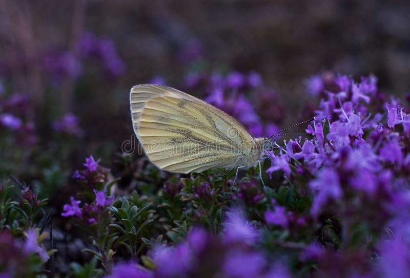 Motyl pije nektar od kwiatu zdjęcia royalty free