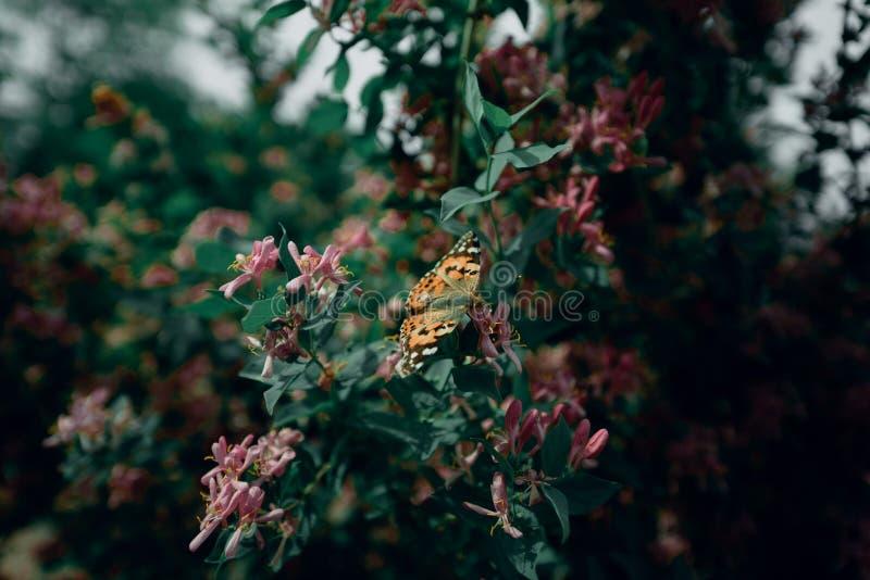 motyl pomarańczowy kolor siedzi na kwiacie Motyl zapyla kwiatu obrazy stock
