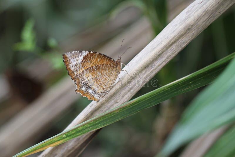 Motyl, Pospolitego Palmfly, Elymnias hypermnestra zbliżenie - obraz royalty free