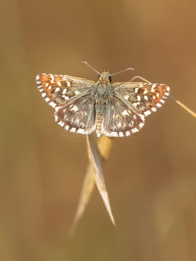 Motyl (Pyrgus malvae) na trawa kolcu z neutralny Brown plecy obraz stock