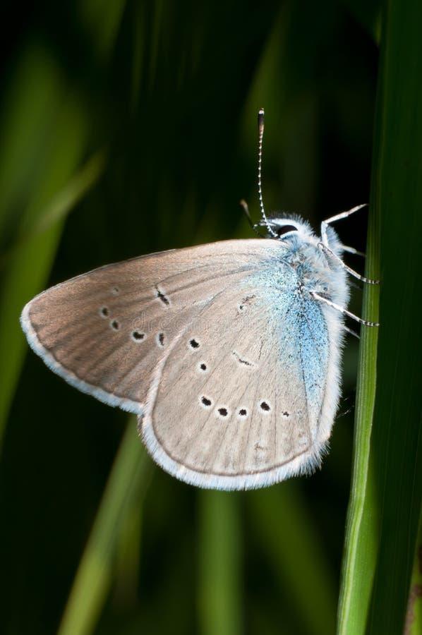Motyl rodzinny Lycaenidae dzwonił Mazarine błękit obraz royalty free