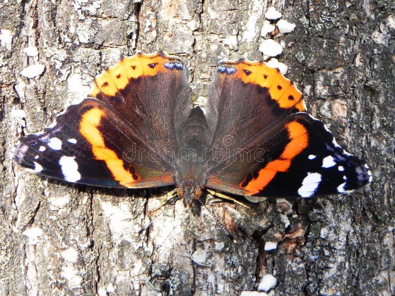 Motyl rozwija? si? sw?j skrzyd?a Pi?kny insekt na letnim dniu Szczeg??y w g?r? i zdjęcia stock