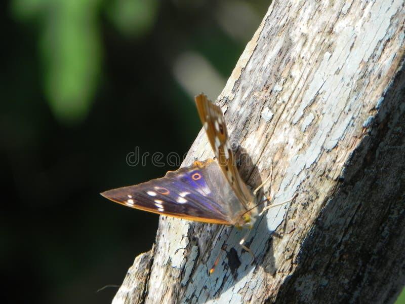 Motyl rozwija? si? sw?j skrzyd?a Pi?kny insekt na letnim dniu Szczeg??y w g?r? i fotografia royalty free