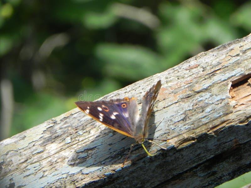 Motyl rozwija? si? sw?j skrzyd?a Pi?kny insekt na letnim dniu Szczeg??y w g?r? i obrazy stock