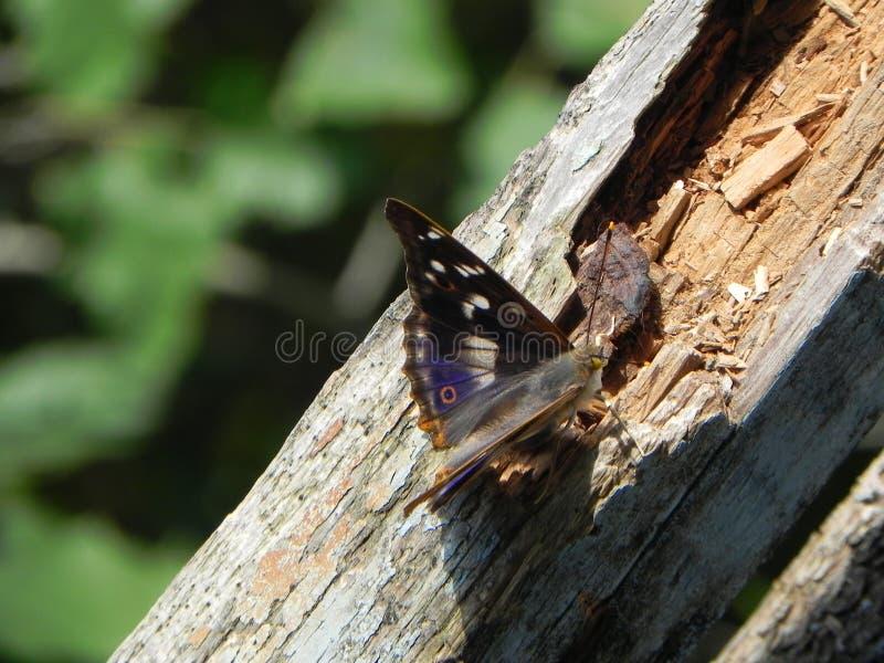 Motyl rozwija? si? sw?j skrzyd?a Pi?kny insekt na letnim dniu Szczeg??y w g?r? i zdjęcie royalty free
