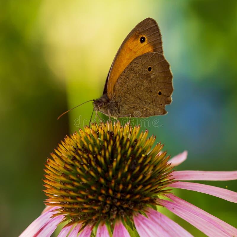 Motyl siedzi na kwiacie w lecie w ogródzie zdjęcie royalty free
