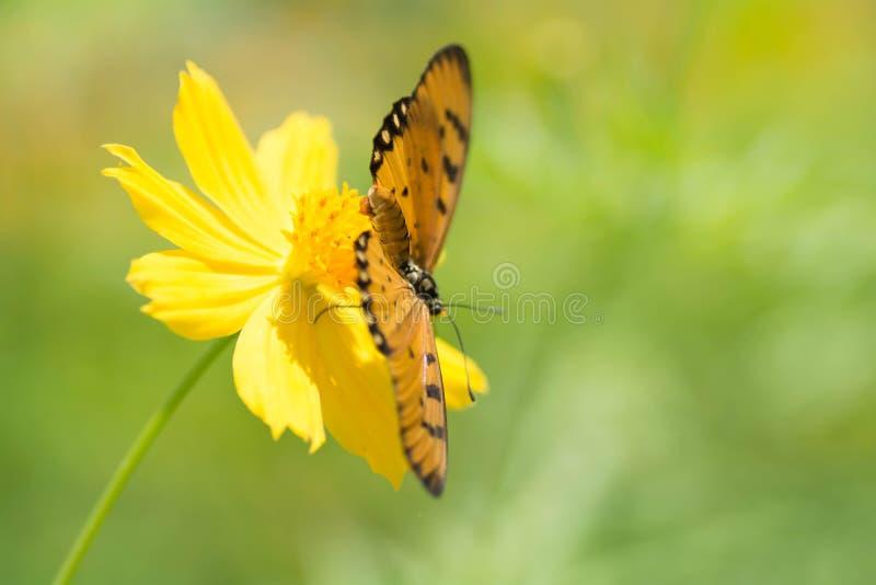 Motyl ssa nektar od kwiatów obrazy stock