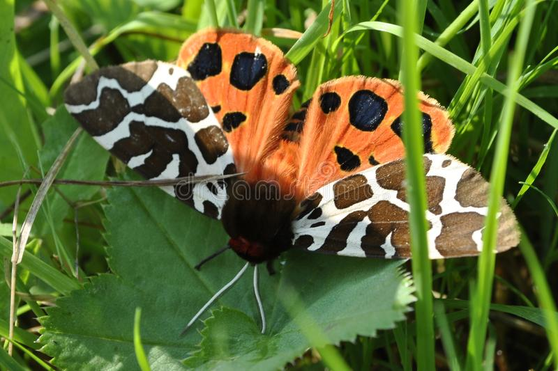 Motyl, trawa, ranek, szczegół, makro- obrazy stock