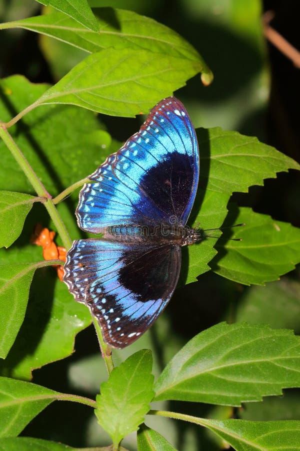 Motyl - Ulysses motyl - Papilio Ulysses obrazy stock