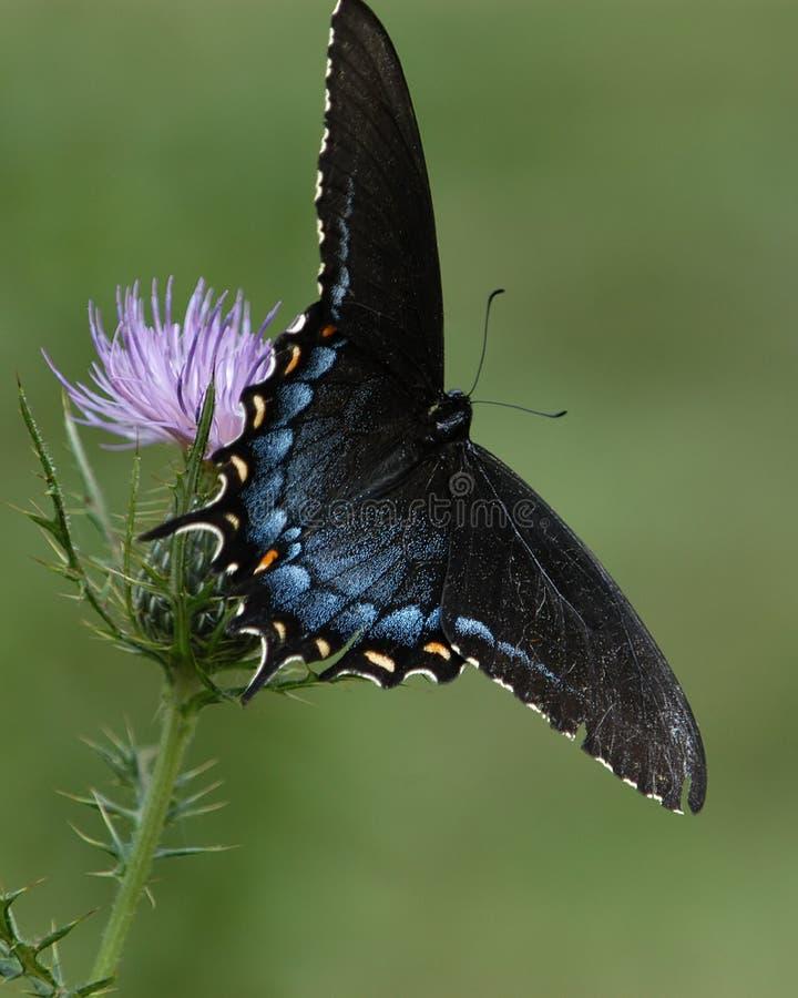 Motyl Vi Zdjęcie Stock