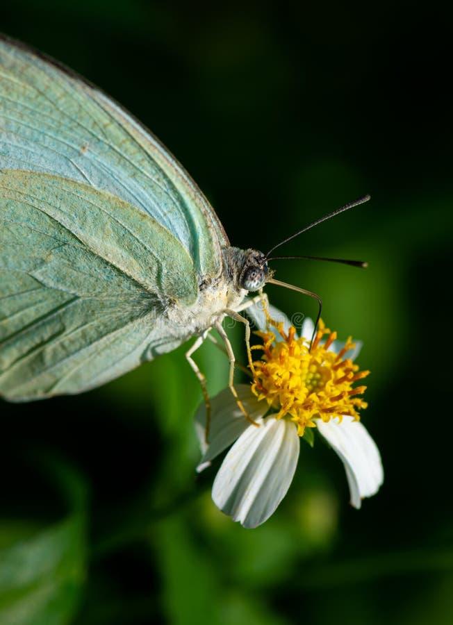 Motyl wędrowny Catopsilia pyranthe obrazy stock