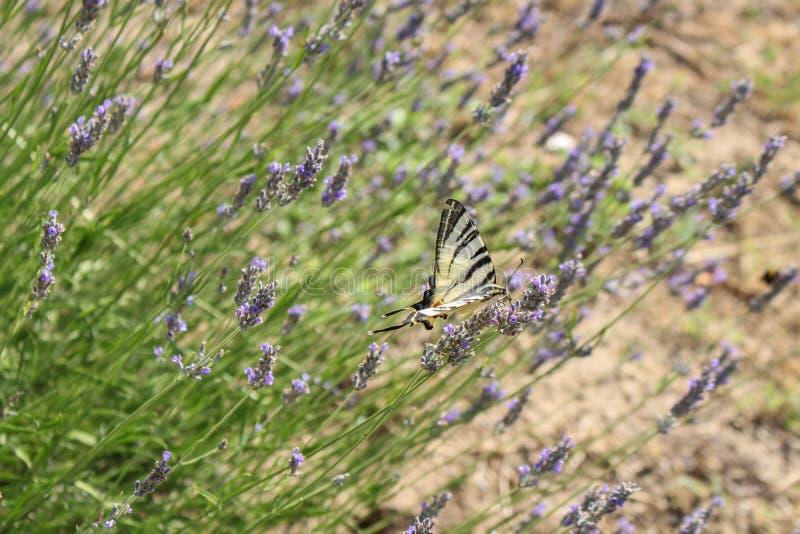 Motyl w Lavander obraz stock