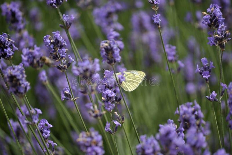 Motyl w lawendzie zdjęcie stock