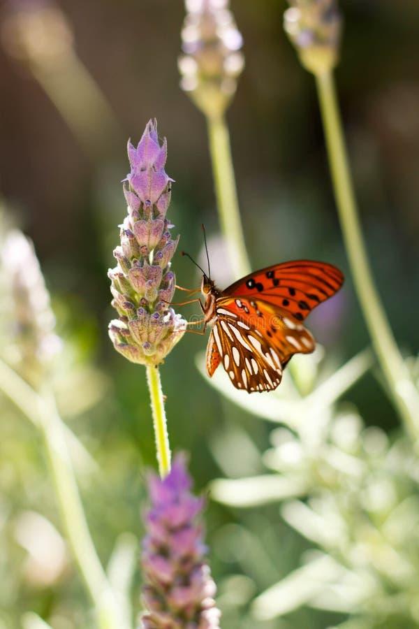 Motyl w lawendzie zdjęcie royalty free