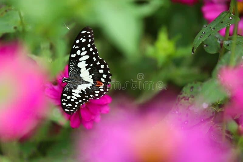 Motyl w ogródzie i lataniu dużo kwitnie w ogródzie, Pięknym motylu w, zwierzęciu lub insekcie, kolorowym ogródzie lub insekta gos obrazy stock
