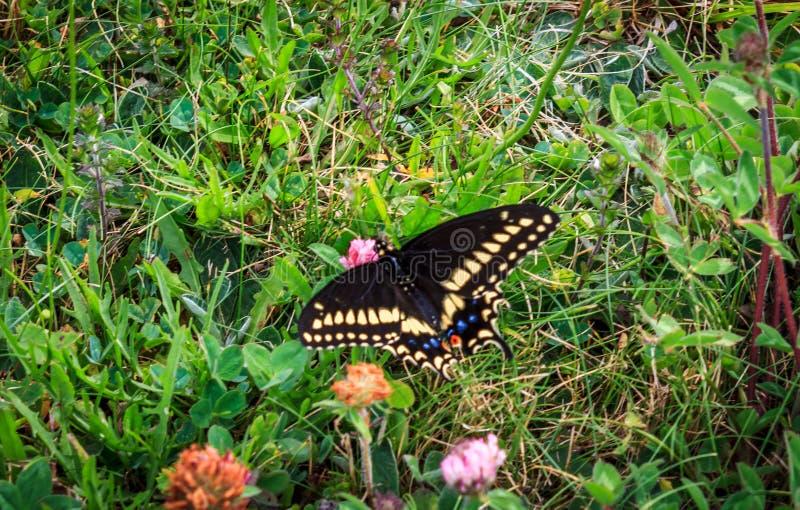 Motyl w polu kwiaty zdjęcia royalty free
