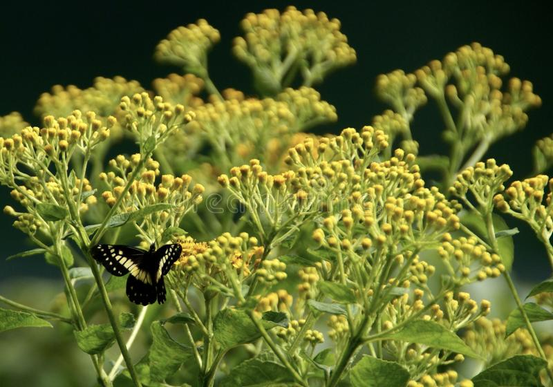 Motyl w szerokiej zieleni fotografia royalty free