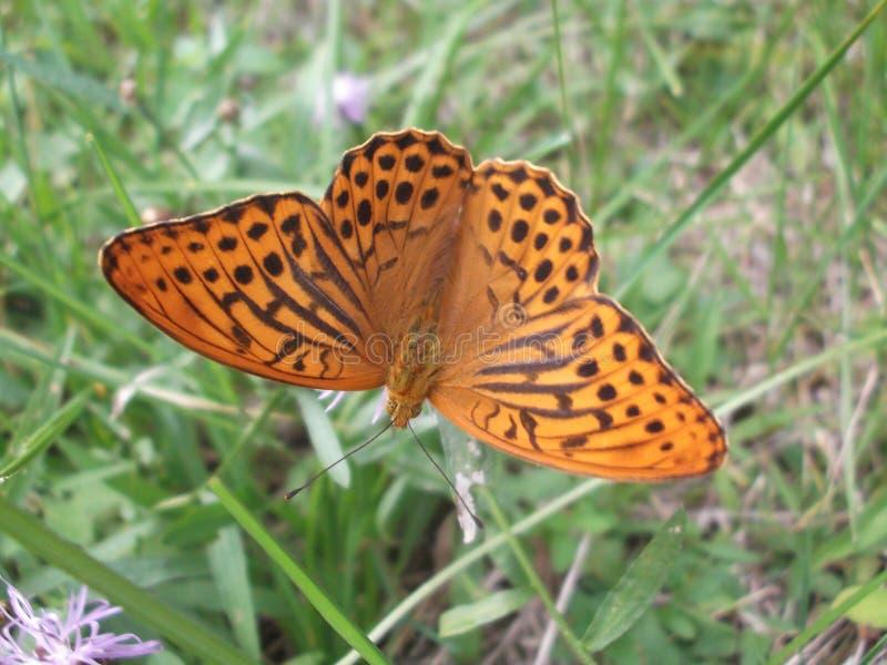 Motyl w trawie obraz royalty free