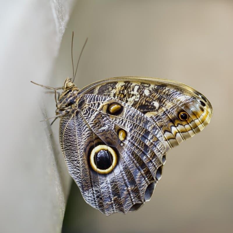 motyl wyłaniający się niedawno fotografia royalty free