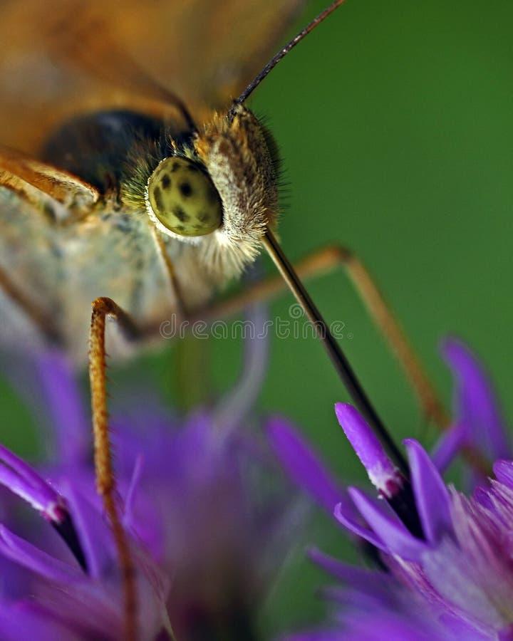 Motyl Wysoki brown fritillary, argynnis adippe w makro- zdjęcie stock