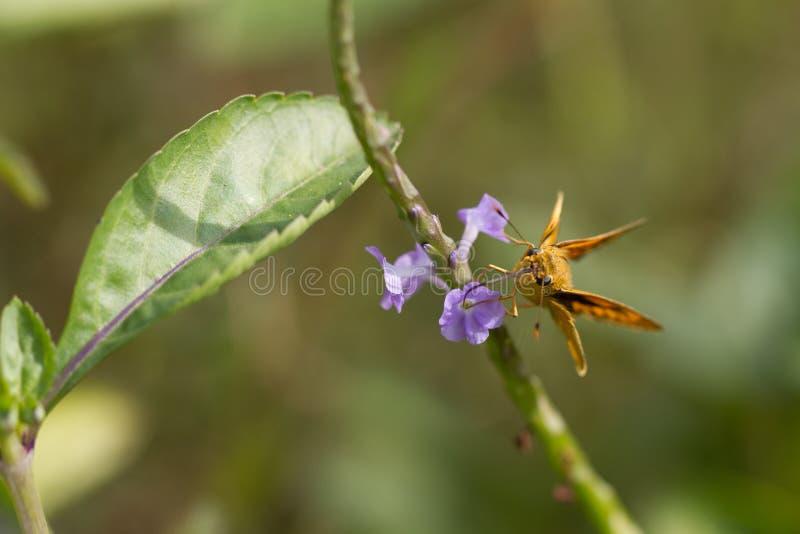 Motyl, Yello Palmowa strzałka - Cephrenes trichopepla obraz stock