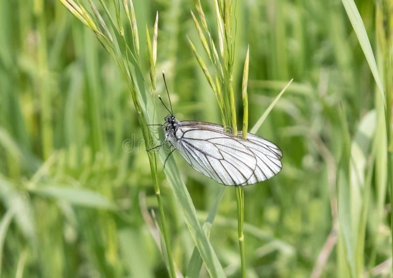motyl z białymi skrzydłami fotografia stock