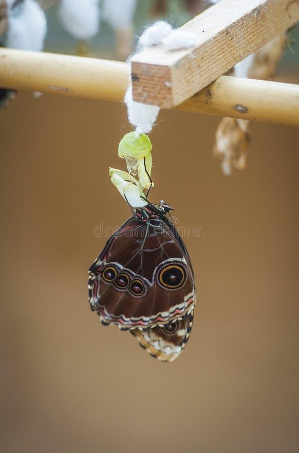Motyl z kokonem zdjęcia stock