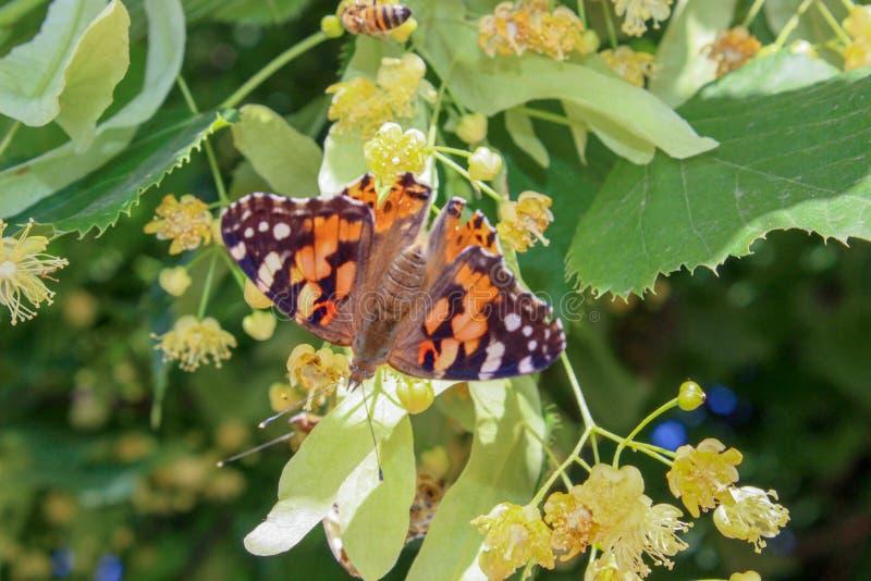 Motyl z otwartymi skrzydłami na lipowych kwiatach zamyka w górę obraz stock