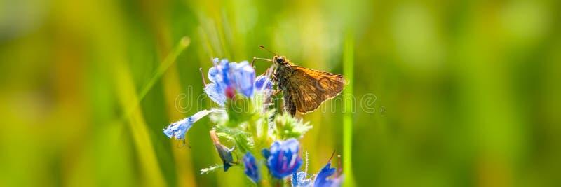 Motyl zbiera nektar i pollen od kwiatu na zamazanym zielonym tle na słonecznym dniu zdjęcia royalty free