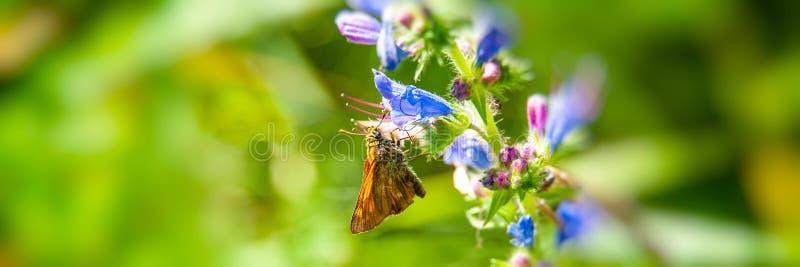 Motyl zbiera nektar i pollen od kwiatu na zamazanym zielonym tle na słonecznym dniu obrazy stock