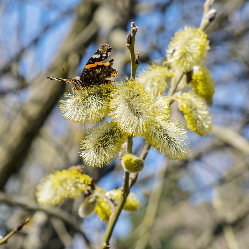 Motyl zbiera nektar na kwiatono?nym drzewie obraz royalty free
