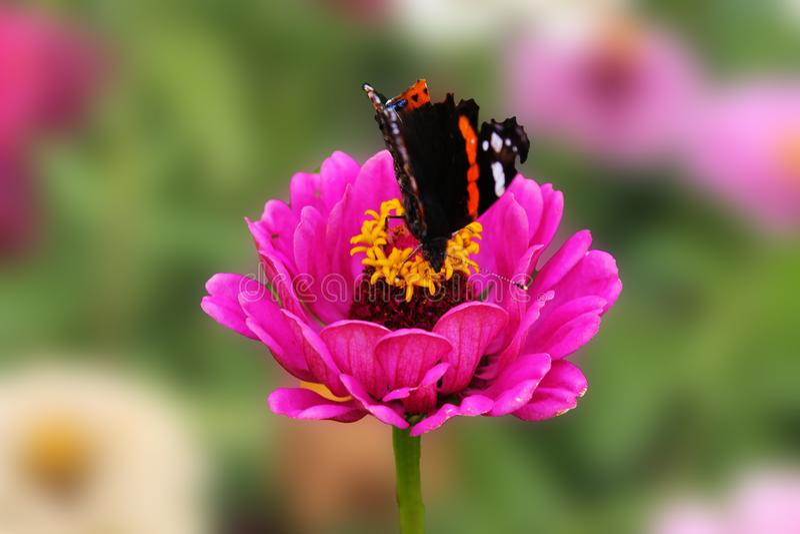 Motyl zbiera nektar na różowym kwiacie tsinii pełen wdzięku Kwiat tsinii pełen wdzięku na odosobnionym zielonym tle zdjęcie royalty free