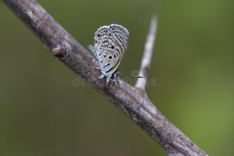 Motyl, zebry błękit - Leptotes plinius SrI lanka Yala zdjęcia stock