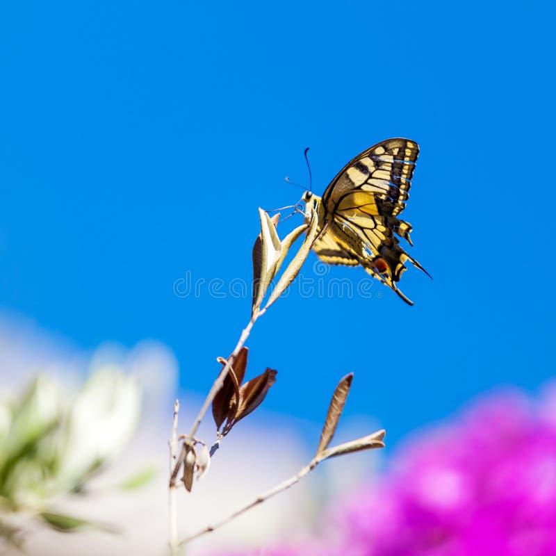 Motyl znać jako pospolity żółty swallowtail fotografia royalty free