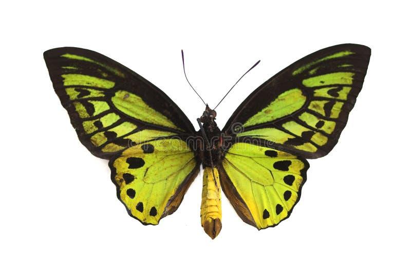 motyla 3 green fotografia stock