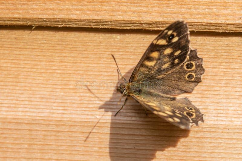 motyla cętkowany drewna Pararge Aegeira zdjęcia stock