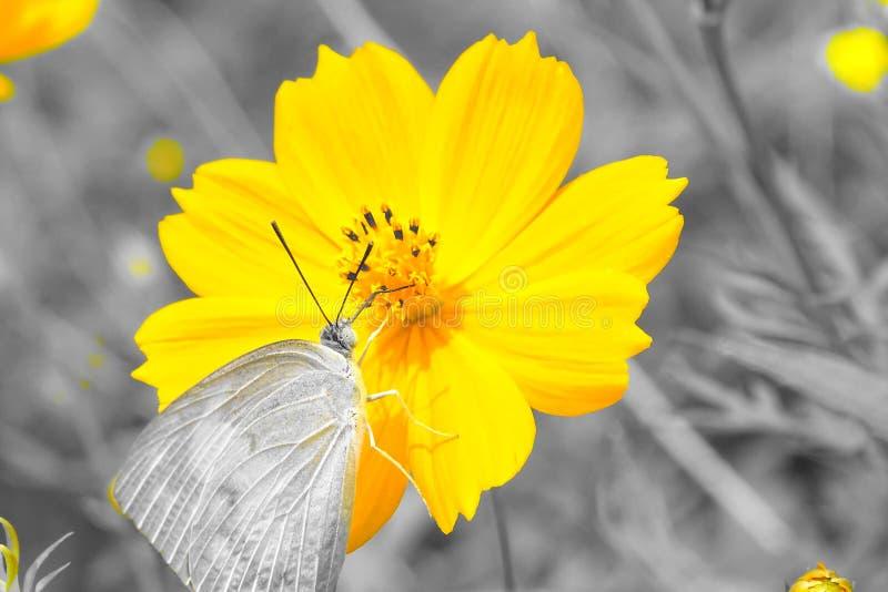 Motyla i kosmosu Sulphureus kwiat zdjęcia stock