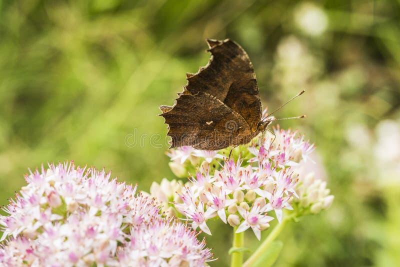 Motyla i kwiatu zakończenie fotografia royalty free